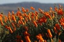 Poppy Season in the Antelope Valley