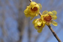 Wintersweet in Bloom