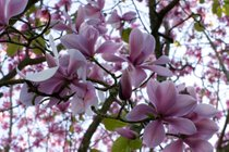 Magnolias in San Francisco Botanical Garden