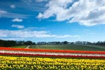 Tulipes en fleurs