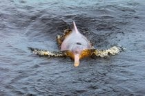 Pink Dolphin Breeding Season