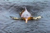 Temporada de cría de delfines rosas
