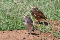 Burrowing Owl Nesting Season