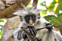Monos Colobo Rojo Bebé