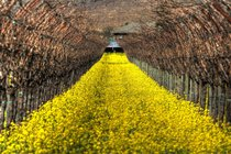 Mustard Bloom in Napa Valley Vineyards
