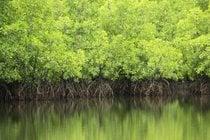 Foreste di mangrovi