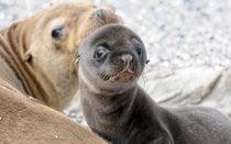 Leones marinos bebés