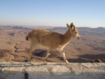 Nubian Ibex Baby Mountain Goats