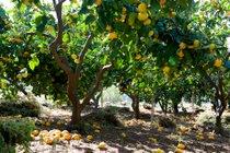 Tangerine Harvesting Season