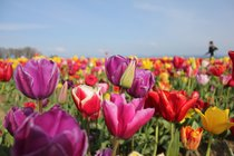 Wooden Shoe Tulip Fest in Woodburn, Oregon