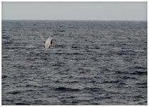 Temporada de Observación de Ballenas Humpback