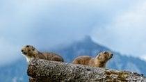Marmotte alpine