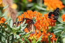 Migrazione delle farfalle monarca
