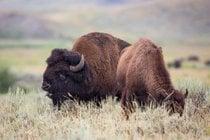Saison de l'accouplement des bisons