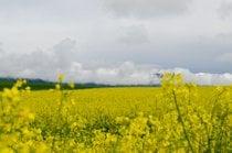 Campos de mostaza en flor