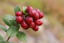 Vaccinium vitis-idaea ou Tyttebær