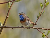 Bluethroat Watching