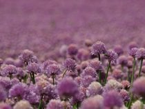 Blooming Fields