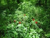Peonías en el bosque de Comana