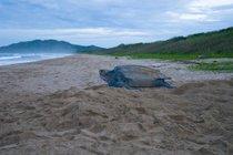 Tortugas de cuero en el Pacífico