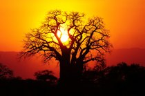 Baobab Blooming y frutas