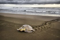 Tortugas de Olive Ridley