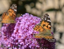Painted Lady Butterfly Migration