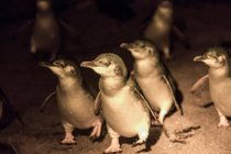 Watching World Smallest Penguins