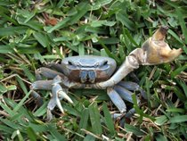 Land Crab Migration
