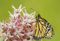 Milkweed and Monarch Butterflies