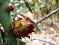 Pitaya o fruta de dragón