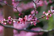 Festival das Cerejas em Flor