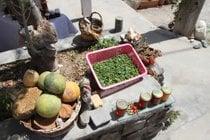 Caper Harvest