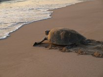 Turtle Nesting and Hatching