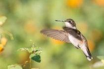 Colibri in Ohio