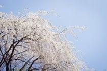 Prunus pendula em flor