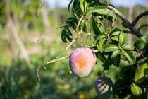 Saison de la mangue