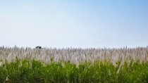 Sugar Cane Bloom