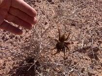 Tarantula oder Vogelspinnen Wanderung