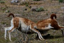 Guanaco Fighting