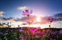 Floração de Cosmos