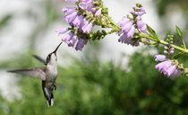 Hummingbirds in Michigan