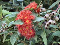 The Red Flowering Gum