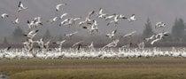 Migración primaveral de gansos de nieve