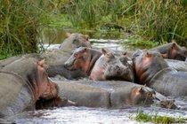 Watching Active Hippos