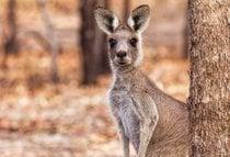 Känguruh beobachtet