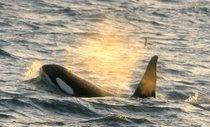 Observación de ballenas de Orca (Killer)
