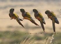 Ausgrabender Papagei beobachtet