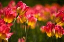 Canadian Tulip Festival (Festival Canadien des Tulipes)