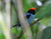 Blue Manakin Mating Dance Watching